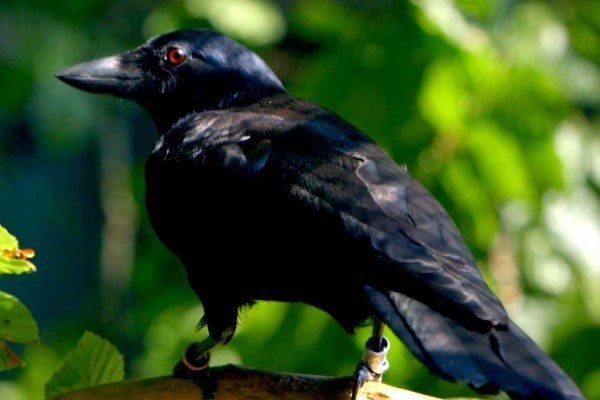 Whoa — I Knew Crows Were Smart, But I Had No Idea They Could Do This.