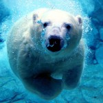 Some Strange Things Are Happening to Polar Bears That Swim Out to Sea.